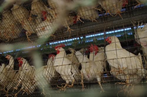 人間の都合で大量生産される動物たち2