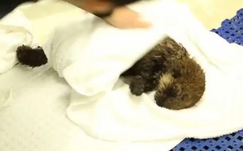 """迷子の「赤ちゃんラッコ」が救助される タオルで""""もふもふ""""される姿が癒しの極み!(動画)"""