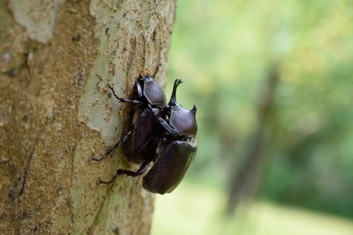 「お見合い」より「恋愛結婚」の方が子孫繁栄 10年に渡るカブトムシの交配研究で明らかに