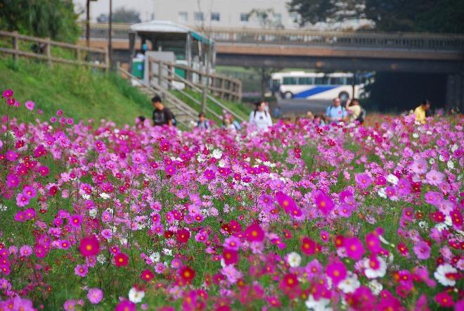 自然の地形を生かした公園「くりはま花の国」では、四季折々の花が咲き誇ります。一面に広がる秋のコスモスは必見です。(ホテルから車で約20分)