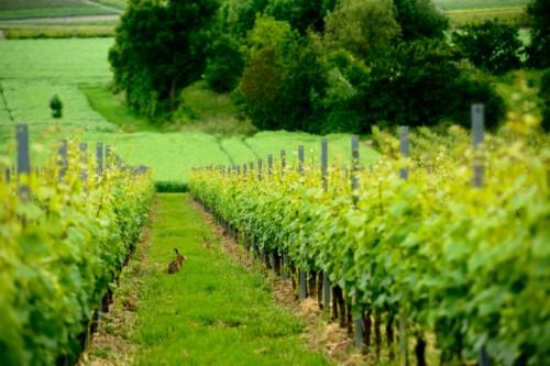 ブドウ畑に現れるウサギは自然に造られている証拠