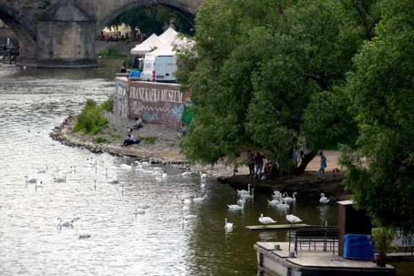 ヴルタヴァ川の白鳥たち