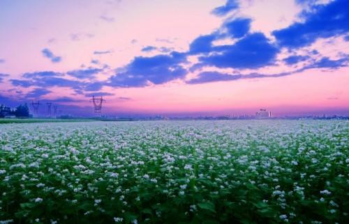蕎麦の畑r