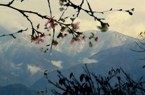 r雪の立山と桜