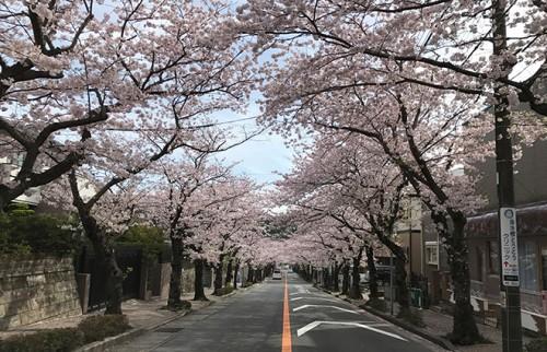 想像通りの桜並木だった/本人撮影