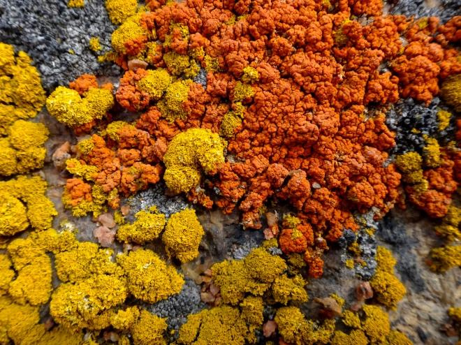 南極の岩壁に生えた地衣類。鮮やかなオレンジ色のものはダイダイゴケの仲間で、黄色いものはナンキョクロウソクゴケ。