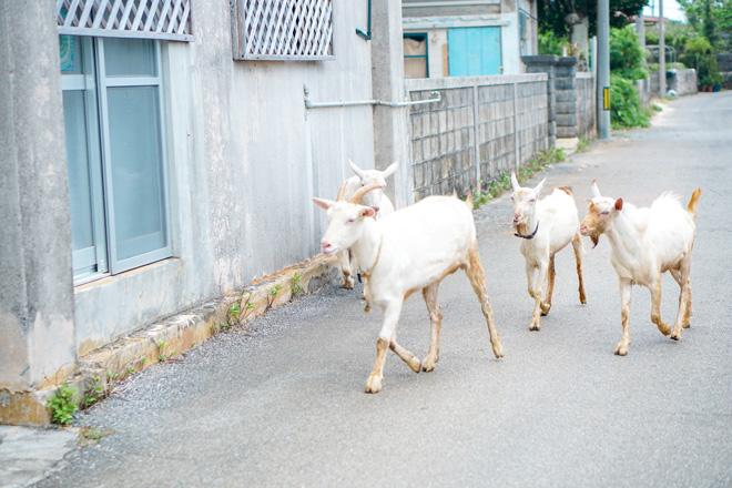 ヤギが現れた!この日は5匹のヤギとお散歩しました