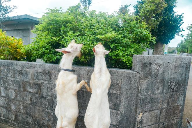 石垣に身を乗り出し、ワイルドに草を食むヤギたち。