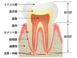 200101歯の断面_江上医師