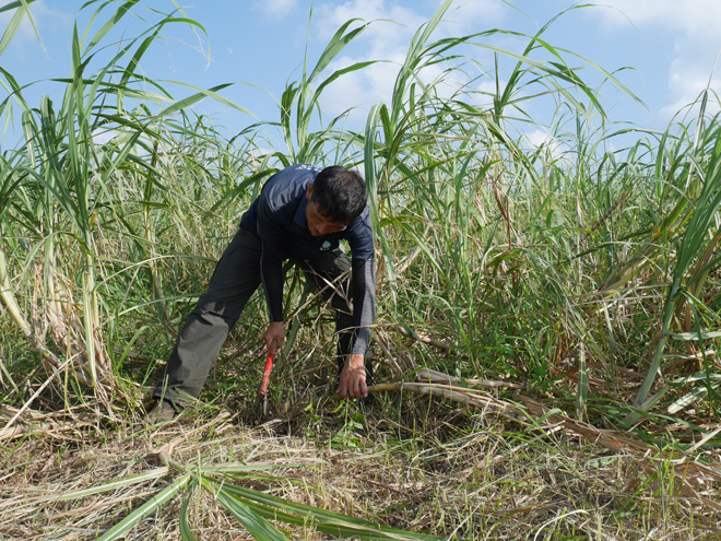 収穫から自分たちの手で行う